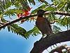 Pica-Pau (3) (jemaambiental) Tags: horse dogs birds fauna hamster cavalos cachorros coelho pássaros tigres macacos picapau ursos suricatas periquitos urubú escorpião faisão poneis chipanzés esqueletodecobra