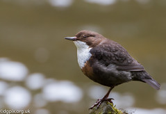 Dipper (Danny Gibson) Tags: bird nature water birds river wildlife aquatic birdwatching dipper naturephotography birdphotography dippers cincluscinclus wildlifephotography cinclus sigma50500mm canoneos7d canon7d dgpixorguk