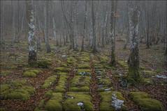 Losas (Explore) (Jose Cantorna) Tags: musgo verde hojas nikon monte burgos d610 hayedo losas berberana