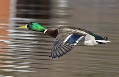 Watching me watching him (phenix) Tags: male fly duck pond nikon flight mallard delaware becks bif 80400mm taxonomy:binomial=anasplatyrhynchos d800e