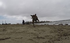 @coconut_cam GoPro dogs (@coconut_cam) Tags: berkeley bayarea pitbullmix gopro coconutcam gopro4 goprodogs bayareadogvideos berkeleydogvideos bayareadogtrainer