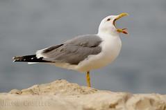 Gaviota Patiamarilla (JAUME CASELLES) Tags: aves gaviota larus michahellis patiamarilla