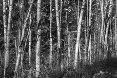 Alders and Abandoned Telegraph Pole BW (Don Thoreby) Tags: forest moss cedar cascades greenway cascademountains cascaderange ironhorsetrail alders cedartrees mountaintosound aldertrees mountaintosoundgreenway