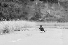 Lonely Walk (cwhitted) Tags: blackandwhite bw monochrome canon eos blackwhite sigma turkeyvulture chathamcounty moncure canoneos400d canoneosdigitalrebelxti jordanlakedam sigma150600mm beverettjordanlakeanddam sigma150600mmf563dgoshsmcontemporary sigma150600mmcontemporary sigma150600mmf563dgoshsmc