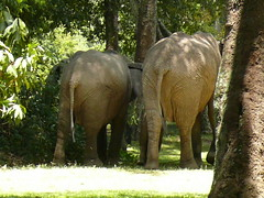 A couple of Bums in Camp ! (Mara 1) Tags: africa trees wild camp animals outdoors kenya wildlife mara elephants masai governors