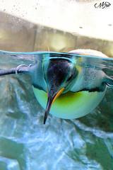 manchot (neku.chou) Tags: life sea france bird water animal nikon eau underwater antique marin under sealife cote animaux oiseau antibes marineland azur sud glace dazure manchot banquise antarctique mammifres d5200 mammifremarin animalphotographie
