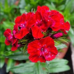 I colori della primavera (Luciana.Luciana) Tags: flowers primavera spring colours fiori rosso colori printemps frhling