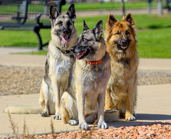 2016 Adrenaline Memorial Day Bash-5 (2oceans1) Tags: girls black dogs champion ali clay german alsatian adrenaline shepherds adrenalinefastpitch under12girlsteamhaleyrose adrenalineblack allstar12usoftball