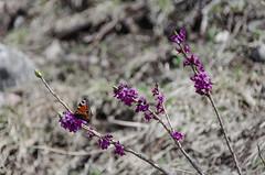 Seidelbast und Pfauenauge (Peter Krimbacher) Tags: flowers colors fantastic catchy pfauenauge seidelbats