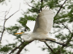 Great Egret Flying in a Louisiana Swamp (scattered1) Tags: white bird heron la fly us louisiana unitedstates alba leg great wing beak feather ardea bone egret greategret 2016 ardeaalba laplace greatwhiteheron