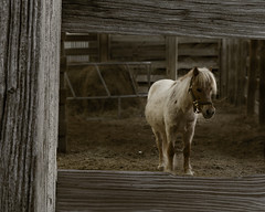 Stockyards Pony (Alfred J. Lockwood Photography) Tags: morning sepia texas pony stable fortworth stockyards fortworthstockyards alfredjlockwood