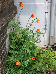143/366 Urban Poppies - 366 Project 2 - 2016 (dorsetpeach) Tags: red england plant spring bright dorset poppy 365 dorchester tatty scruffy 2016 366 aphotoadayforayear 366project second365project