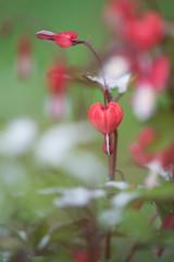 Bleeding Hearts - May snow in Michigan (MichellePhotos2) Tags: red white snow flower macro green ice garden spring flora nikon michigan bleedinghearts dutchmansbreeches 150mm lamprocapnos d800e nikond800e lyreflowerandladyinabath
