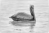 Brown Pelican in Black and White (lisanelson2011) Tags: galveston heron hermitcrab port fisherman pelican cheryl cormorant tern egret kem shrimpboats sanderling willet ruddyturnstone avocet redwingblackbird 2016 laughinggull reddishegret