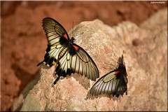 Pair Of Butterlies (juanmerkader) Tags: naturaleza nature butterfly nikon picture pic almera picoftheday picofftheday nikond750