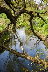 River Browney, Lanchester, North East Engand, UK. (CWhatPhotos) Tags: pictures camera uk trees england sky hot reflection tree water digital reflections river that photography focus day skies foto with view image artistic pics north wide picture sunny pic images east have photographs photograph fotos fallen brownie which contain summers lanchester browney riverbrowney lensl cwhatphotos