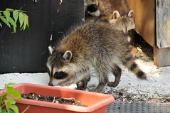 Baby Raccoons (part 3) (Violentz) Tags: baby raccoons kits cute patricklentzphotography
