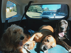 149/366 (moke076) Tags: blue dog pet pets hot dogs oneaday car animal animals mobile project puppies space group cellphone cell moose full fawn tired photoaday subaru panting 365 backseat roomy crowded goldendoodle forester iphone 2016 366 project365 365project project366 vsco petsit vscocam