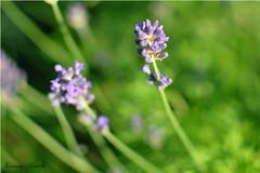 The Lavender (Joanna Porada) Tags: blue flower green nature focus natural bokeh violet lavender gras