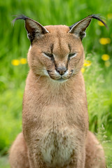 Caracal (SKAC32) Tags: cat feline caracal northdevon brattonfleming exmoorzoo swengland sigma150600mmf563dgoshsm|contemporary015