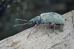 Rsselkfer - Grnrssler (Phyllobius sp.) kurz nach der Landung (AchimOWL) Tags: macro animal insect lumix tiere outdoor wildlife ngc stack makro insekt tier kfer schrfentiefe textur gx80 postfocus
