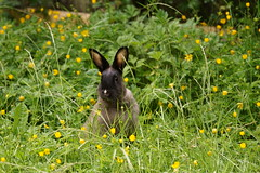 Toki (Tjflex2) Tags: rabbit bunny