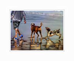 pure joy (Jackal1) Tags: sea dog reflection beach dogs happy play artistic walk joy creative happiness boxerdog fluid springerspaniel playful