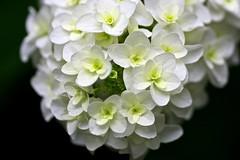 White Lady (tez-guitar) Tags: summer flower macro temple kyoto pentax blossoms petal bloom hydrangea tamron pentaxart