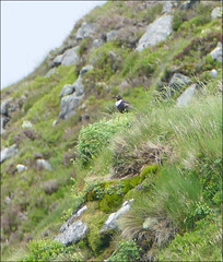 Ring ouzel (McRusty) Tags: wild bird beautiful scotland european ben outdoor ring migratory migration visiting visitor songbird ouzel vrackie