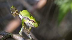 Acrobat (Explore) (Alex Verweij) Tags: wild green nature closeup canon groen close natuur boom 100mm frog explore 5d treefrog kikker markiii boomkikker alexverweij