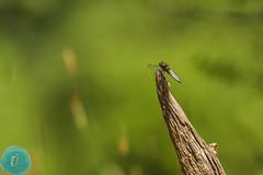 Summer at our garden hide... (_alcedo_) Tags: nature dragonfly gardenofeden insects workshop lithuania biodiversity breeder odonata libelluladepressa borisbelchev hidephotography wwwalcedowildlifecom fatbodiedchaser hidenr3 kintaibirdingparadise birdwatchinglithuania