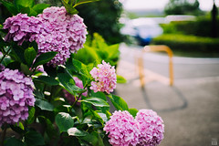 Hydrangea (yasu19_67) Tags: sunset sunlight flower japan 50mm parkinglot atmosphere contax osaka hydrangea digitaleffects photooftheday filmlook filmlike vsco carlzeissplanar50mmf14 vscofilm sony7ilce7