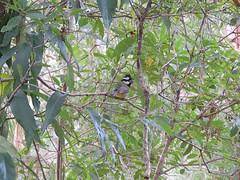 Falcunculus frontatus 3 (barryaceae) Tags: new lake bird birds wales south sandbar australia aves smiths australianbirds australianbird ausbird ausbirds