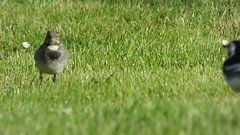 Pied Wagtail chick feeding..x (lisa@lethen) Tags: feeding clip pied wagtail