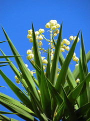 Yucca (dog.happy.art) Tags: flowers plant yuccas flower succulent bloom flowering blooms yucca blooming