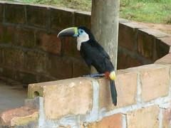 Toucan in Guyana Savannah