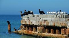 Shore birds sharing space on old Coquina Beach Pier. (Jim Mullhaupt) Tags: bird beach gulfofmexico pier nikon flickr florida pelican coolpix cormorant sandpiper tern bradenton saltwater coquina bradentonbeach p510