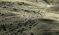 la piste du Cheiron (2) (b.four) Tags: sheep mouton alpesmaritimes pecora cheiron ruby10 ruby15 ruby20 beaudunlesalpes