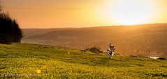 Nibbler in the dawn light - Streatley Hill (Mr Whites Paw Prints) Tags: rural sunrise landscape jackrussell nibbler streatleyhill
