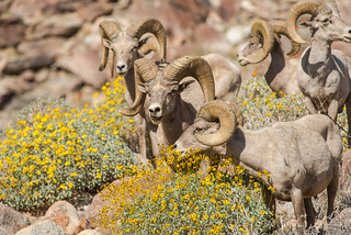 A gathering of rams