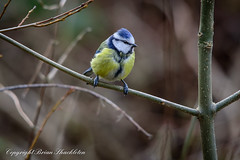 Blue Tit. (photoshack 07) Tags: birds tits greattit