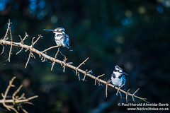 Kingfishers In Chobe National Park, Botswana