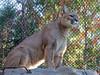 Puma (bookworm1225) Tags: zoo october 2014 minnesotazoo northerntrail tropicstrail