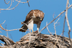 Red Tailed Hawk enjoys its dinner