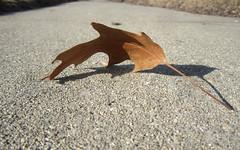 sidewalk leaf (Mark.Swanson) Tags: leaf maple sidewalk acer