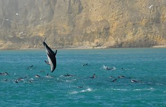 Dauphins en plongée