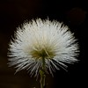Powderpuff - white flower (Sarah Anne Mac) Tags: whiteflower powderpuff