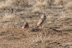Burrowing Owl pair keeps close watch