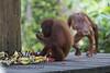 Rehabilitated Orangutan (robsall) Tags: travel vacation canon mammal malaysia borneo orangutan canoneos sabah sepilok orang rehab orangutans pongopygmaeus sandakan orangs sepilokorangutanrehabilitationcentre rehabcenter sepilokorangutanrehabilitationcenter canon5dmarkiii 5dmarkiii 5dm3 5dmark3 5dmiii robsall canon5dm3 canoneos5dm3 robsallphotography