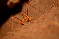 Check out my backside, say my name (March 2015) (5telios) Tags: insect nikon athens greece caves cave nikkor caving ringflash arthropod caver dolichopoda 1855mmf3556gvr nikond3100